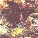 Fg. 1: Le barriere coralline, che prosperano in acque pulite e ricche di nutrienti, ospitano una varietà infinita di organismi meravigliosi.
